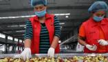 黄河三角洲冬枣产业发展见闻:能吃能喝能观赏