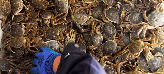 东营:黄河口丰收大闸蟹