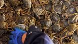 東營:黃河口豐收大閘蟹
